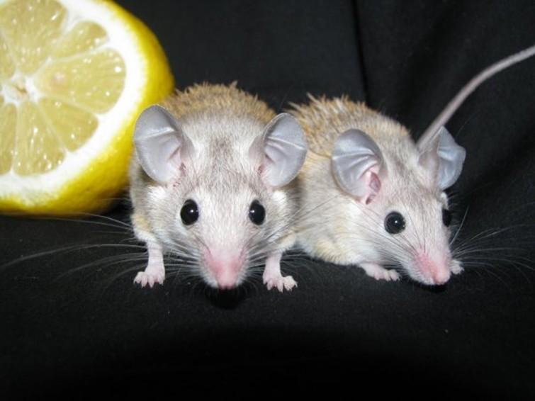 маленькие египетские мышки