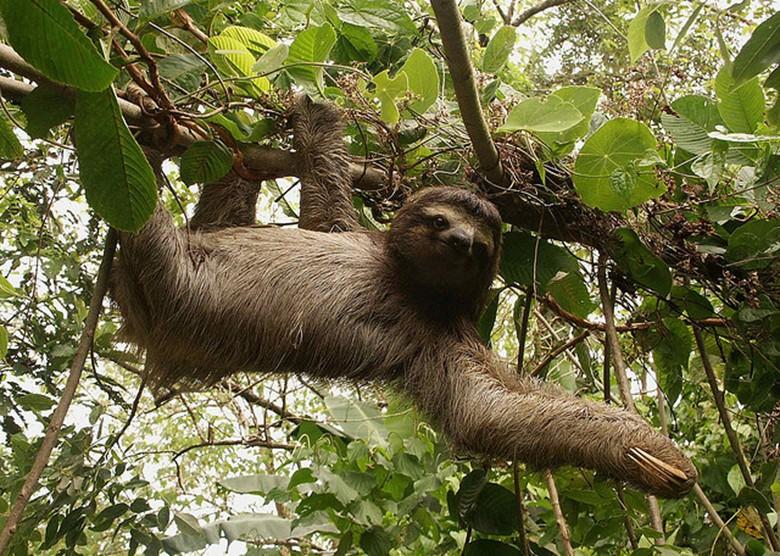 ленивец в лесу