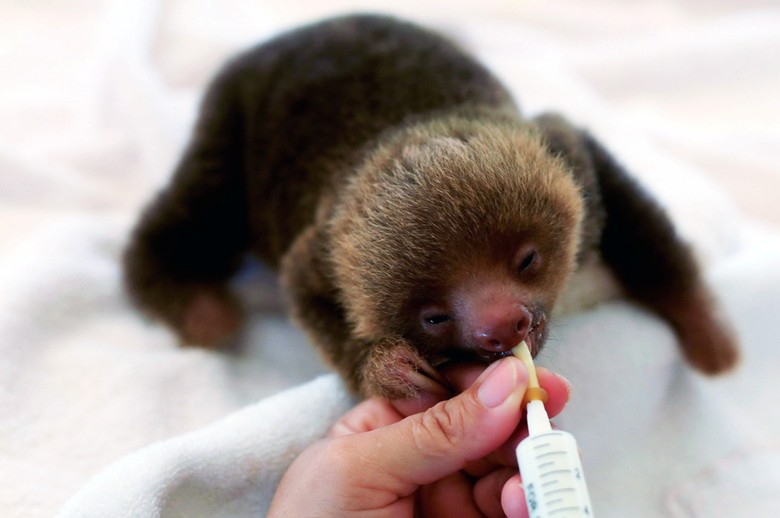 потомство ленивца