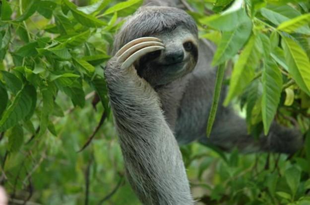 ленивец среди листьев