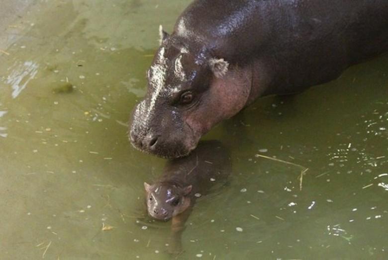 мама бегемот и ее детеныш