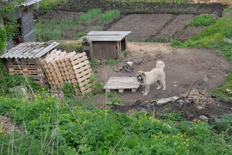 Кавказская овчарка охраняет участок