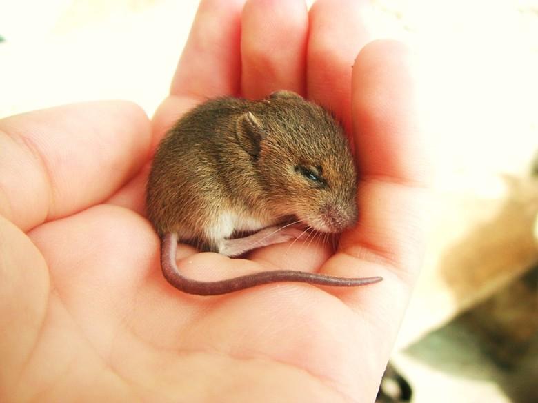 мышка на руках
