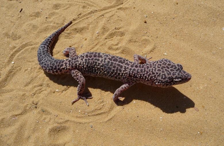 ящерица породы эублефар пятнистый