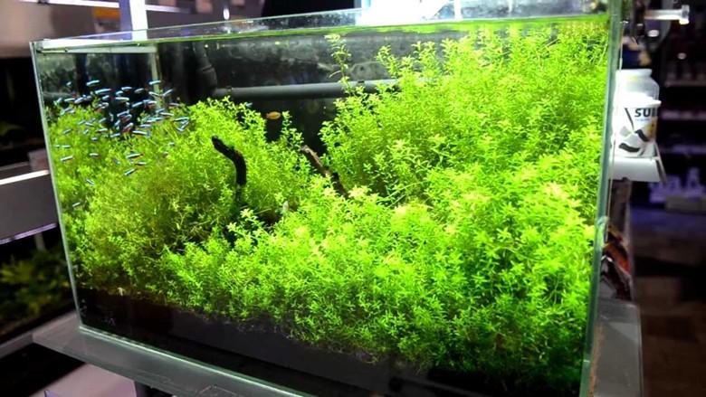 просторный аквариум для неонов