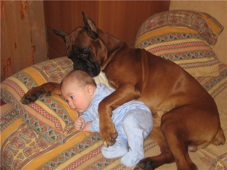 маленький ребенок и немецкий боксер