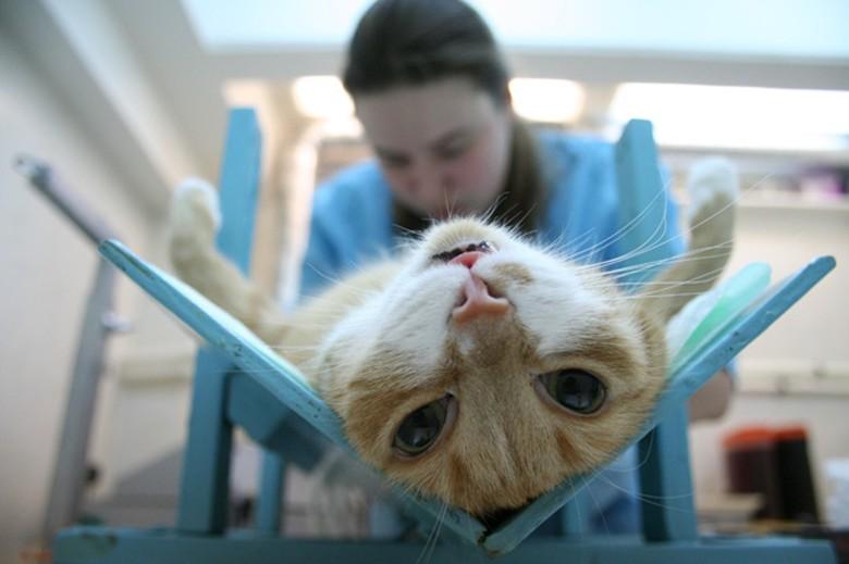 Кастрировать или нет кошку