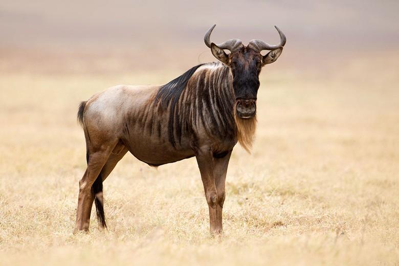 Самые быстрые животные - антилопа гну