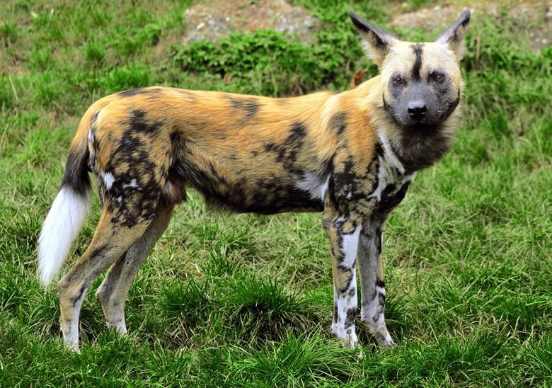 собака гиена, скоростной охотник