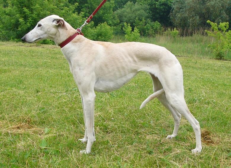 борзая - самая быстрая собака