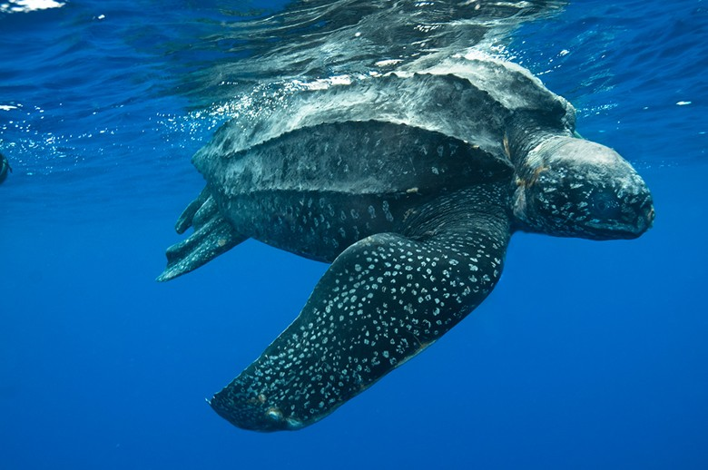 черепаха быстро плывет