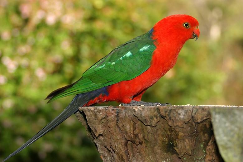 попугай породы лори