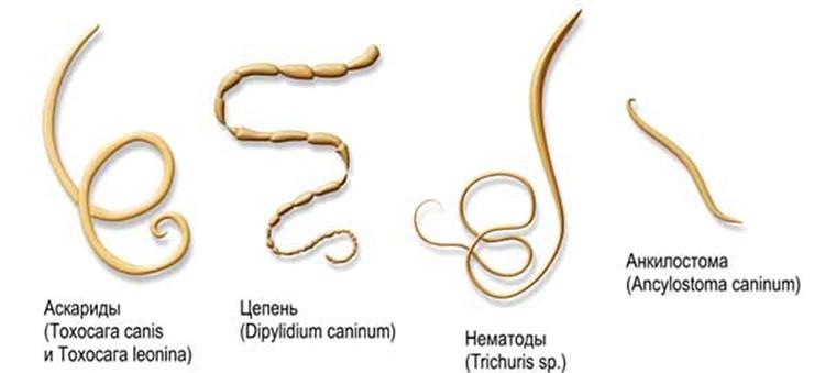 черви паразиты