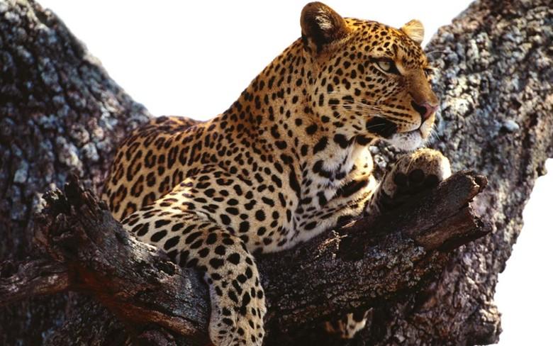 леопард в окрестностях Сочи