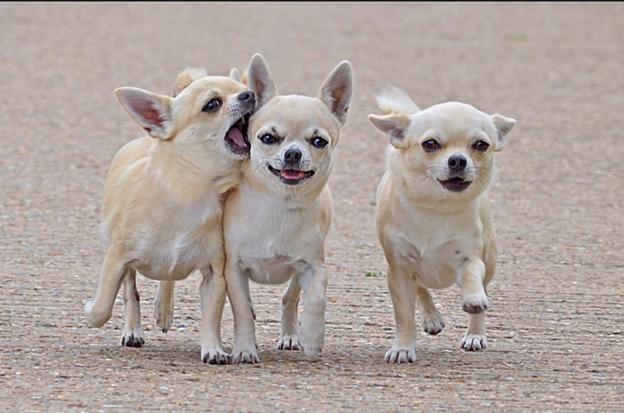 три чихуахуа на прогулке