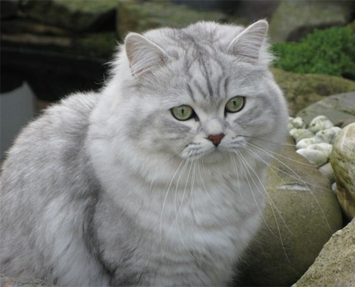 кошка с длинной шерстью