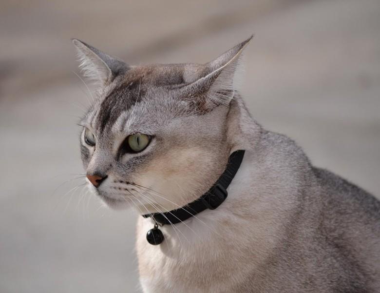 взрослая кошка бурмилла