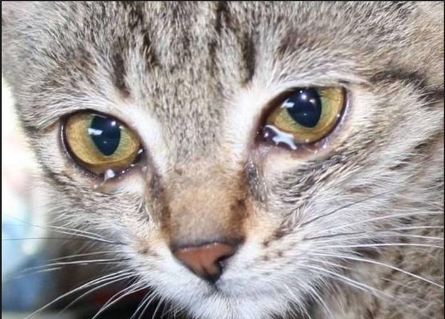 слезящиеся у кошки глаза