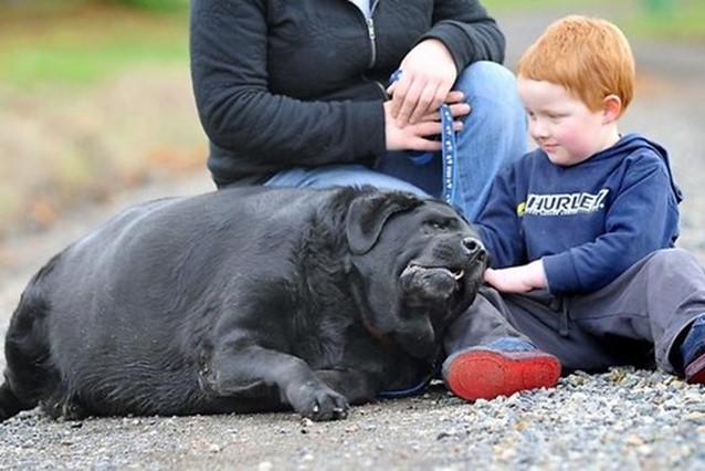 собака с избыточным весом