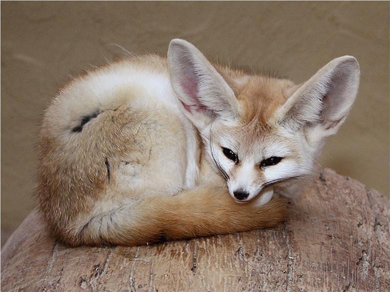 домашняя лисичка фенек