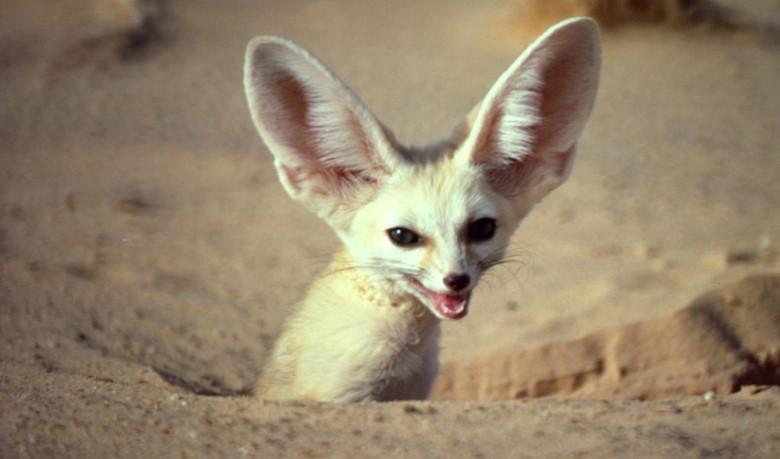 лисичка фенек в пустыне
