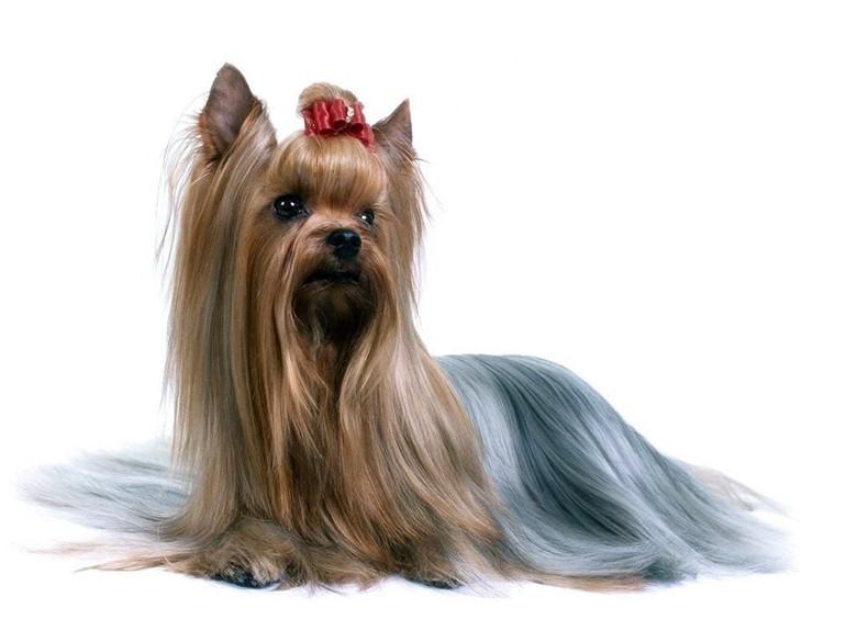 Выставочная собака