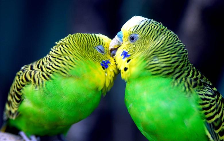 волнистый попугайчик пара