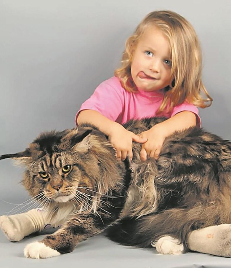 кошка мейн кун и девочка