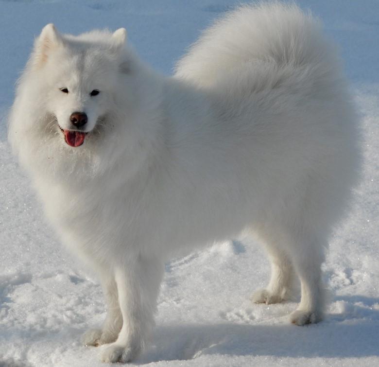 самоедская собака и снег