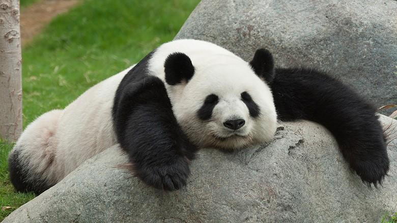 отдыхающий панда
