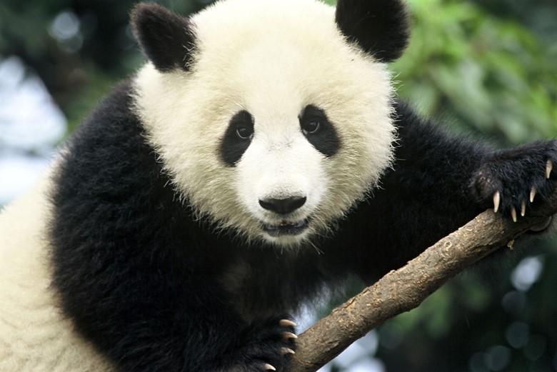 взрослый панда