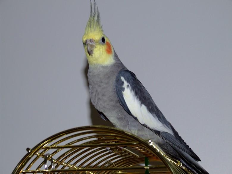 красивый попугай корелла