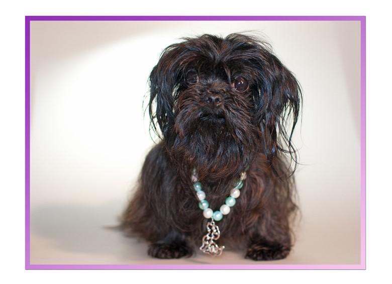 Собака породы русская цветная болонка