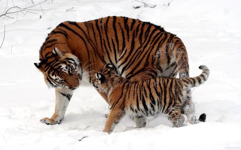 Выводок амурского тигра