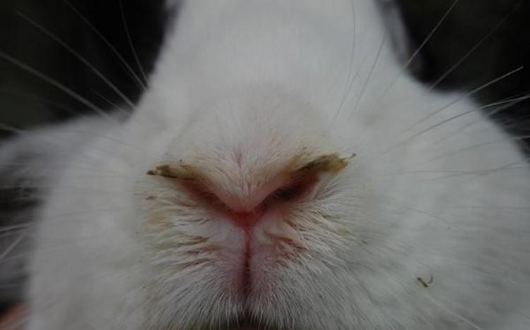 Кролик, зараженный ранитом
