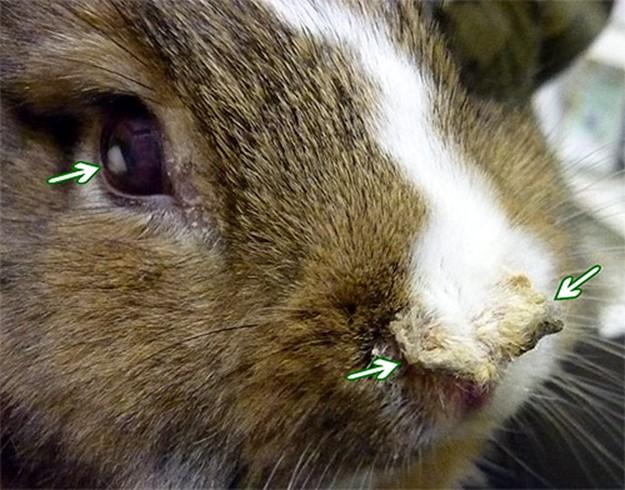 кролик, заразный пастереллезом