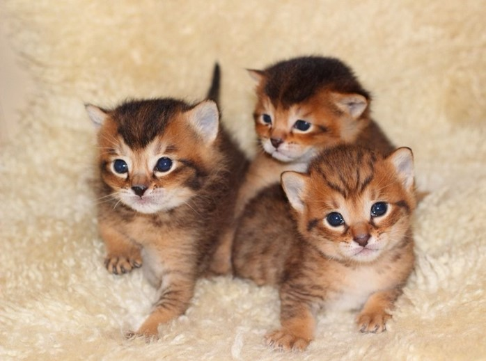 три котенка чаузи