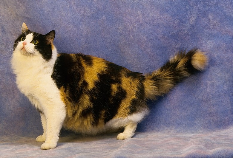 кошка породы рагамаффин, три цвета
