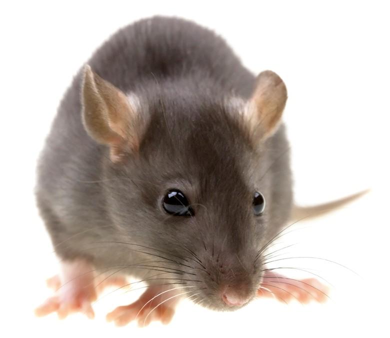 Мышь домашняя или дикая. Домашняя мышь