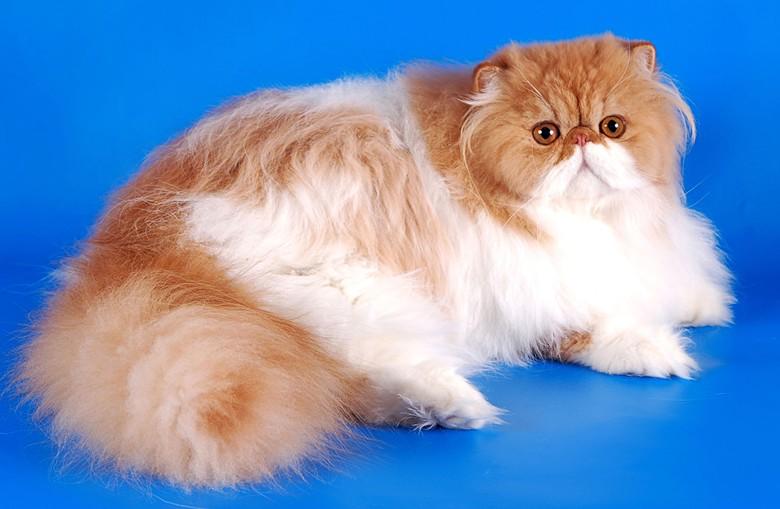 Персидская кошка – настоящая аристократка