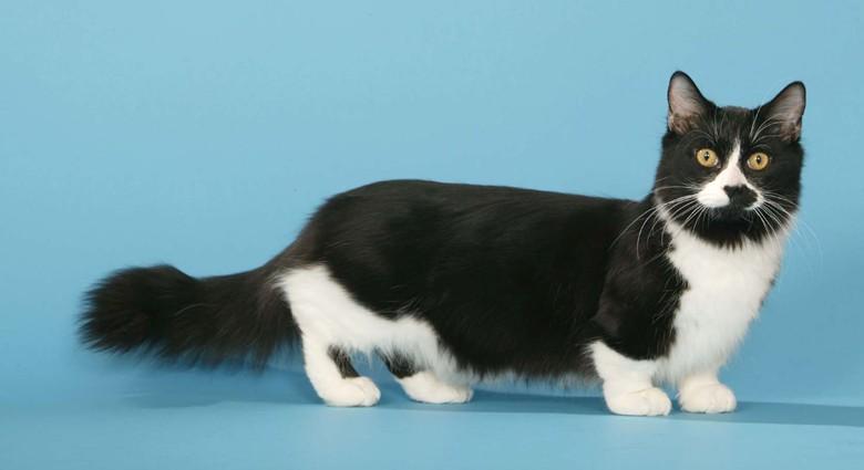 Кошки с короткими лапами породы